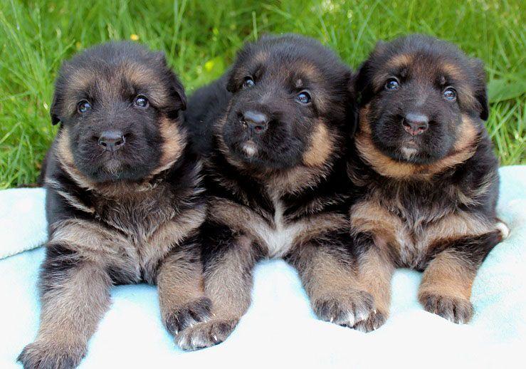 Eladó kiskutyák 2